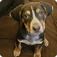 Adopt A Pet :: Darcy*ADOPTED* - Chicago, IL