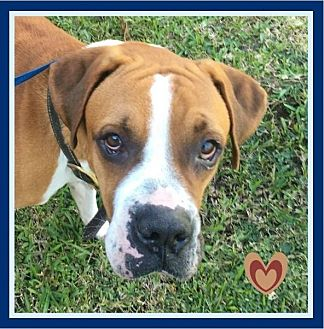 Boxer/American Bulldog Mix Dog for adoption in Miami, Florida - Rommell