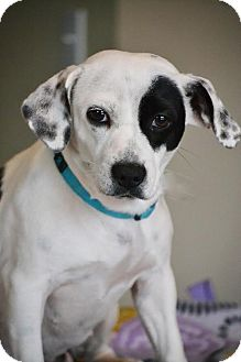 Jack Russell Terrier/Beagle Mix Dog for adoption in Staunton, Virginia - Pogo