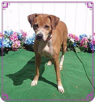 Labrador Retriever Mix Dog for adoption in Marietta, Georgia - SISSY - reclaimed