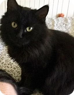 Domestic Longhair Cat for adoption in Charlotte, North Carolina - A..  Gracie