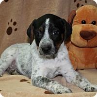 Adopt A Pet :: Andrew - Salem, NH