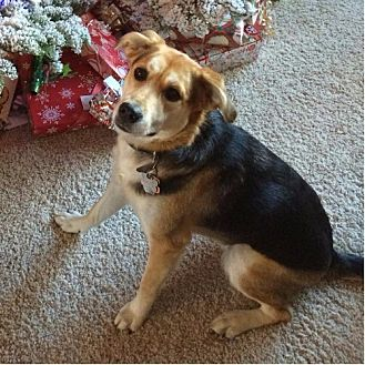 Beagle/German Shepherd Dog Mix Dog for adoption in San Carlos, California - Luna