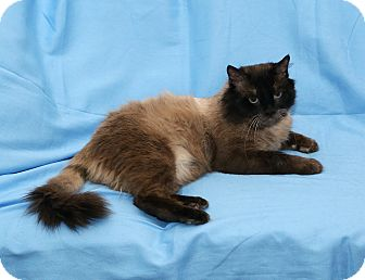 Himalayan Cat for adoption in Yorba Linda, California - Yeti
