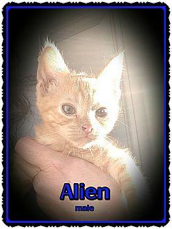 Domestic Shorthair Kitten for adoption in Richmond, California - Alien