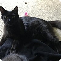 Domestic Longhair Cat for adoption in Cuyahoga Falls, Ohio - Storm
