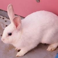Adopt A Pet :: *RAFFI - Las Vegas, NV