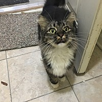 Adopt A Pet :: BOOTS - Madison, AL