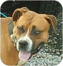 Boxer/American Bulldog Mix Dog for adoption in Fredericktown, Ohio - Tango