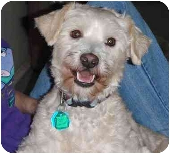 Poodle (Miniature)/Terrier (Unknown Type, Small) Mix Dog for adoption in Pittsboro/Durham, North Carolina - Oodles