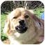 Photo 4 - Chihuahua/Dachshund Mix Dog for adoption in Mahwah, New Jersey - Atkins