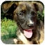 Photo 4 - Labrador Retriever/Whippet Mix Puppy for adoption in Pawling, New York - ANGEL