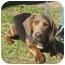 Photo 2 - Basset Hound/Dachshund Mix Dog for adoption in Portsmouth, Rhode Island - Patty