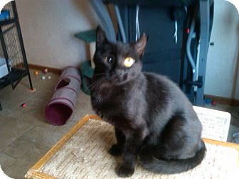 Domestic Shorthair Cat for adoption in Sterling Hgts, Michigan - Calamity Jane (hit by a car)