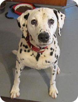 Dalmatian Dog for adoption in Salem, Oregon - Mister