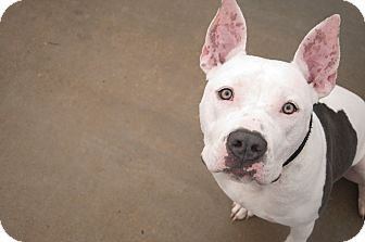 American Pit Bull Terrier Mix Dog for adoption in Des Peres, Missouri - Herman