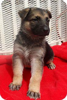 German Shepherd Dog Puppy for adoption in Santa Ana, California - Valentino