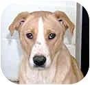 Labrador Retriever/Beagle Mix Dog for adoption in Rockville, Maryland - Philora