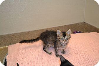 Domestic Mediumhair Kitten for adoption in Gilbert, Arizona - Lydia