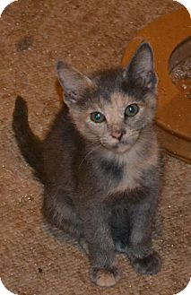 Calico Kitten for adoption in Clarkston, Michigan - Elsa