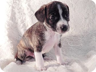 Boston Terrier Mix Puppy for adoption in West Milford, New Jersey - WINSTON