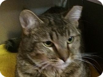 Domestic Shorthair Kitten for adoption in El Cajon, California - Smitty