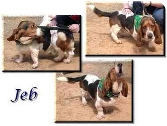 Basset Hound Dog for adoption in Marietta, Georgia - Jeb