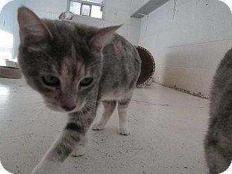 Domestic Shorthair Cat for adoption in Bryson City, North Carolina - Nevada