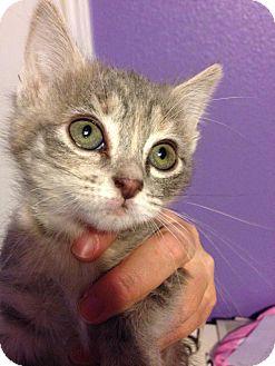 Domestic Mediumhair Kitten for adoption in Mansfield, Texas - Muffin
