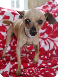 Chihuahua Mix Dog for adoption in San Pablo, California - FREEWAY
