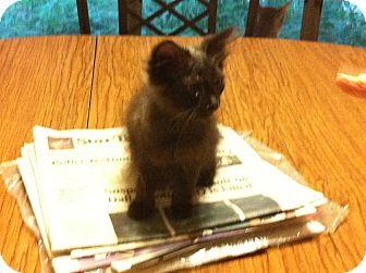 Domestic Longhair Kitten for adoption in Weatherford, Texas - Meeny