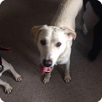 Adopt A Pet :: Harley - selden, NY