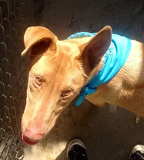 Anatolian Shepherd/Shar Pei Mix Dog for adoption in Corona, California - Miles, 2 yr. Pharaoh Hound,