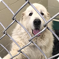 Adopt A Pet :: Duke II  ADOPTION PENDING - Bloomington, IL