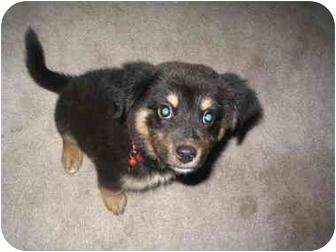 Australian Kelpie/Collie Mix Puppy for adoption in Upper Marlboro, Maryland - LORIEN