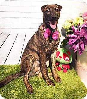 Labrador Retriever Mix Puppy for adoption in Castro Valley, California - Tara