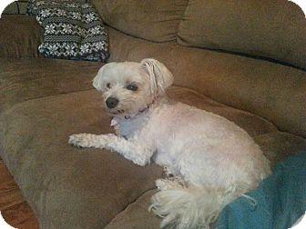 Maltese Dog for adoption in Warren, Michigan - Bunny