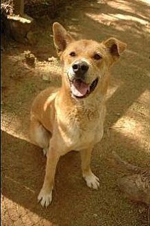 German Shepherd Dog/Labrador Retriever Mix Dog for adoption in Pt. Richmond, California - DJANGO