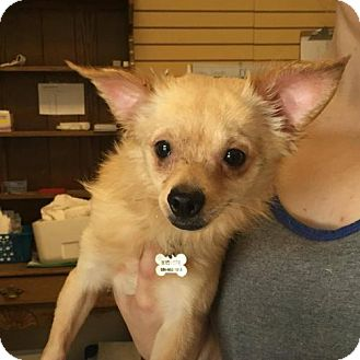 Terrier (Unknown Type, Medium) Mix Dog for adoption in Chico, California - Robert DeNiro