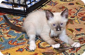 Siamese Kitten for adoption in Davis, California - Lotus
