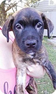 Retriever (Unknown Type)/Hound (Unknown Type) Mix Puppy for adoption in Gainesville, Florida - Lochte
