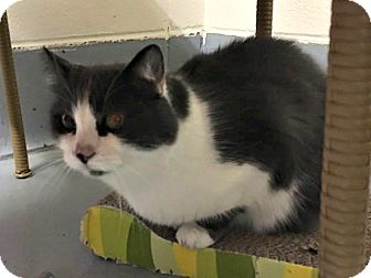 Domestic Shorthair Cat for adoption in Flint, Michigan - Mitzi