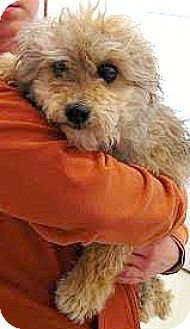 Poodle (Miniature)/Terrier (Unknown Type, Small) Mix Dog for adoption in Boulder, Colorado - Beckett-ADPOPTION PENDING