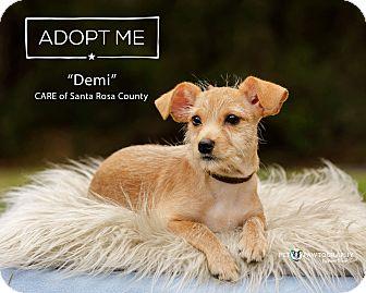 Chihuahua/Dachshund Mix Puppy for adoption in Navarre, Florida - Demi