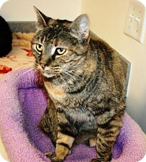 Domestic Shorthair Cat for adoption in Grand Junction, Colorado - Gypsy