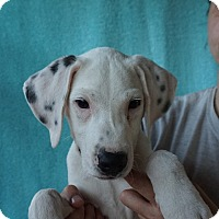 Adopt A Pet :: Spot - Oviedo, FL