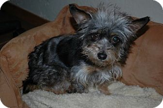 Silky Terrier Mix Dog for adoption in Antioch, California - Tina