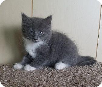 Domestic Longhair Kitten for adoption in Jasper, Alabama - Chip