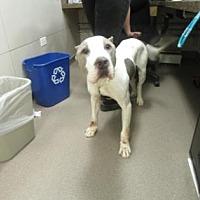 Adopt A Pet :: Joker - Colfax, IL