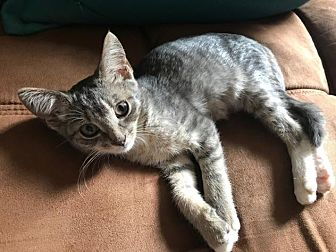 Domestic Mediumhair Kitten for adoption in Stamford, Connecticut - Hope